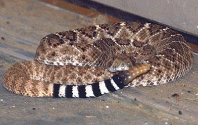 A diamondback rattlesnake watches the camera.<BR>Courtesy