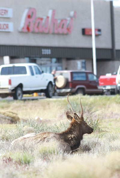 The elk were photographed near Andy Devine and Airway Avenues last April. The Arizona Game and Fish Department then tranquilized and released the elk in the Hualapai Mountains. <BR>JC AMBERLYN/Miner