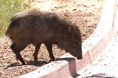 Javelina can uproot vegetation and attack pets. <BR>Courtesy