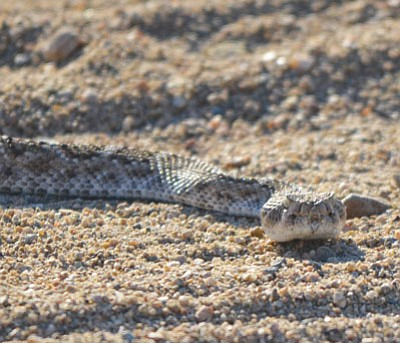 Diamondback rattlesnakes will be part of the discussion Friday night during the Summer Wildlife Series presentation at the library.<BR>Arizona Game & Fish/Courtesy
