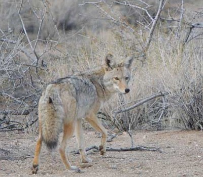 Courtesy<br /><br /><!-- 1upcrlf2 -->A wily coyote favors a photographer with a wary stare.<br /><br /><!-- 1upcrlf2 -->
