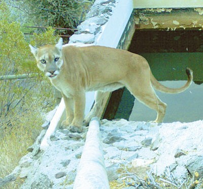 Stealthy mountain lions keep their distance from humans, making them difficult to study.<BR>Courtesy