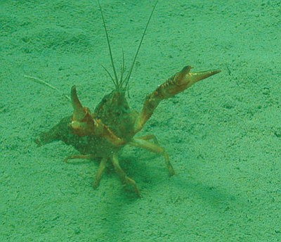 Crayfish like this one are abundant in Arizona. The crustaceans make for a delicious dinner – and since they are an invasive species in the state, there is no trapping limit. (Courtesy)<br /><br /><!-- 1upcrlf2 -->