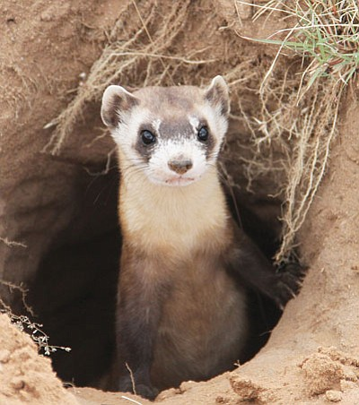 JC AMBERLYN/Miner<BR>A black-footed ferret peers up from the burrow it was released in.