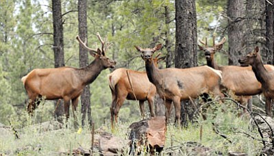 BUTCH MERIWETHER/Courtesy<BR> Elk are a common sight at Mohave County's Hualapai Mountain Park.