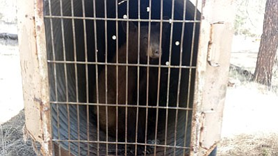 "DON MARTIN/Special to the Miner<BR> BooBoo the bear, who was believed to have destroyed a turkey decoy and a pop-up blind, sits in ""bear jail"" while awaiting relocation  to  another part of the San Carlos Reservation."