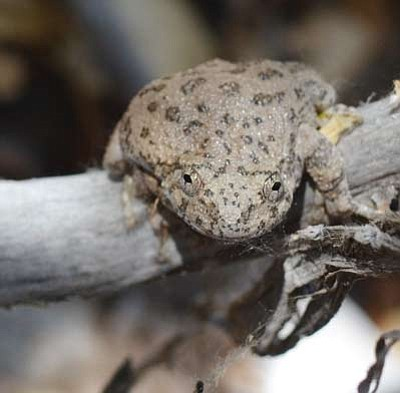 A canyon tree frog is one of many difficult-to-find native species in Arizona. (Courtesy)