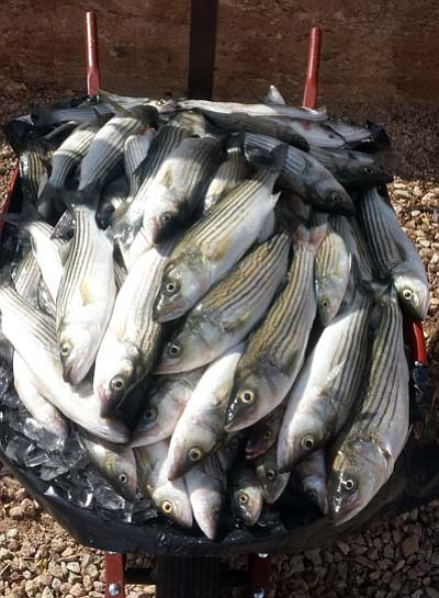 DON MARTIN/For the Miner<BR>These stripers were part of a catch of fish that were taken out of boils on Lake Mead last Saturday evening. Stripers, or striped bass, are predatory non-native fish that came to Arizona waters after being introduced in Nevada and Utah.