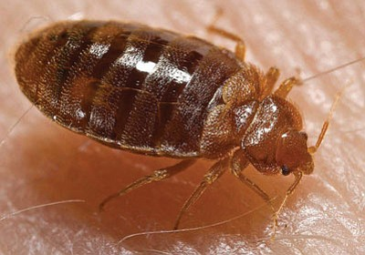 Locally and nationally, bed bugs are rearing their exoskeletons once again, perhaps because they've adapted to pesticides. (Courtesy)