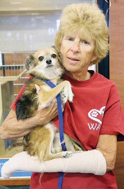 Judy Green, who was mauled by a lab mix during a morning walk in Golden Valley, continues to volunteer to find homes for stray animals with the Western Arizona Humane Society. Here, she holds Otis, a Chihuahua mix in need of a forever home. (JC AMBERLYN/Miner)