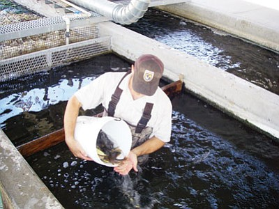 ARIZONA GAME & FISH/Courtesy<BR> A worker at Willow Beach Fish Hatchery empties a bucket of small fish into a pool where they will grow larger until released. Arizona Game and Fish Department plans to release 22,000 trout into the Colorado River in October and November.