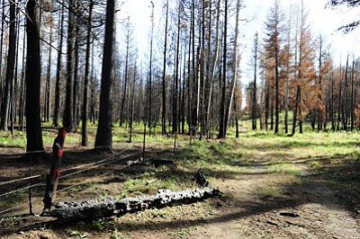 The Apache-Sitgreaves National Forests sustained severe damage and tree death from the 2011 Wallow Fire. (BRANDON QUESTER/Cronkite News)