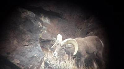 A ram spotted on a recent deer hunt. (Courtesy)