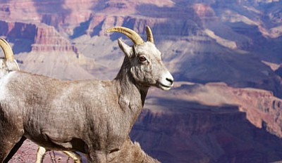 JC AMBERLYN/Miner<BR> A bighorn sheep stands on the South Rim of the Grand Canyon in 2009.