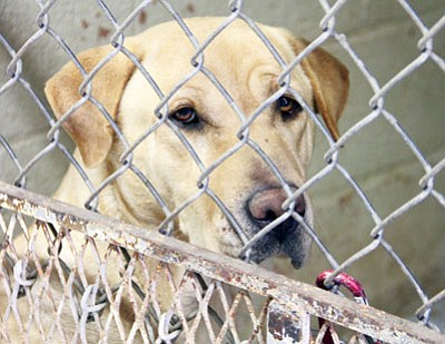 JC AMBERLYN/Miner<BR> Talia, a 5-year-old spayed female lab mix, waits for a new home Tuesday. There are dozens of family-friendly dogs and cats available for adoption at Western Arizona Humane Society.