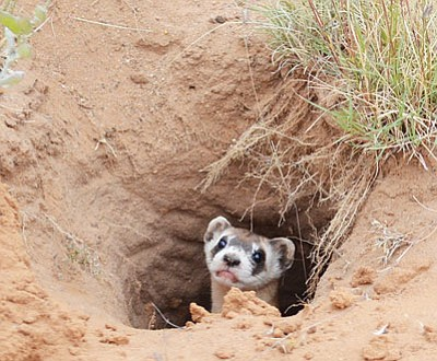 Efforts to reintroduce the black-footed ferret into the Aubrey Valley near Seligman may have suffered a severe setback, based on disappointing spring counts. (Courtesy)