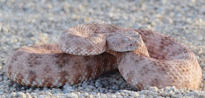 This speckled rattlesnake is one of 13 species of rattler found in Arizona, more than in any other state. (Courtesy)