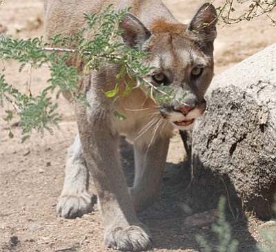 Princess, a cougar, checks out here Keepers of the Wild enclosure in this file photo. (JC AMBERLYN/Miner)