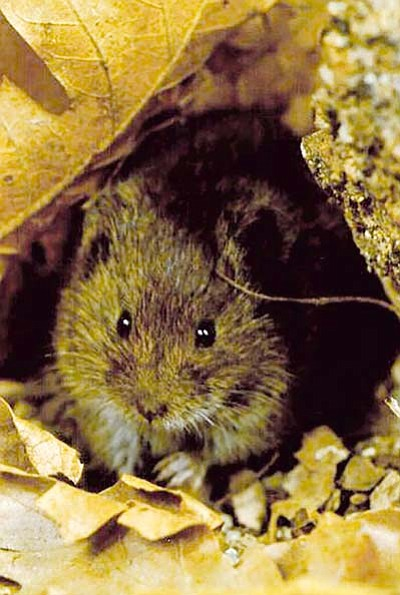 G. Andreiko/Courtesy<BR> The Hualapai Mexican vole may be removed from the Endangered Species List.