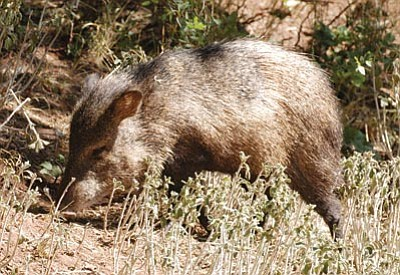 A javelina forages for food. The mammals are rapidly expanding in the Kingman area and the public is invited to learn more about them Friday in Kingman. (Courtesy)