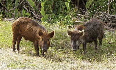 Feral pigs of the same kind can be found in the Havasu National Wildlife Refuge. (NASA/Courtesy)