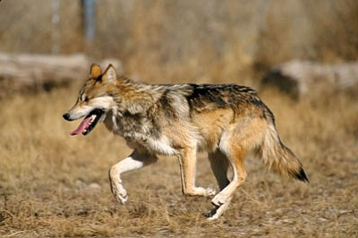 USFWS/Courtesy<br /><br /><!-- 1upcrlf2 -->A Mexican wolf at the Sevilleta National Wildlife Refuge in New Mexico.