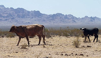 JC AMBERLYN/Miner<BR> Cattle wander through Golden Valley in June 2014.