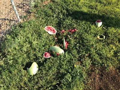 Vandals smashed watermelons and pumpkins at the Dig It Community Garden, which is having its grand opening Saturday. (Courtesy)