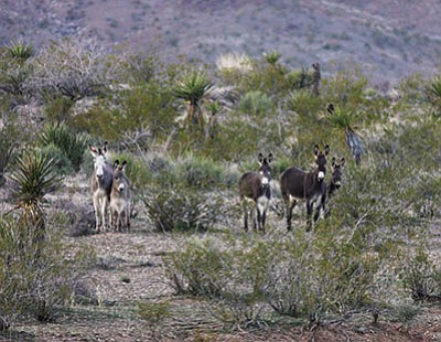 Wild burros stand in the desert near Oatman Road in February 2011. (JC AMBERLYN/Miner)