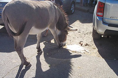 A burro chows down on what would've been an Oatman tourist's lunch. The burros living in the wild are also thought to be helping themselves at the expense of others. (ALAN CHOATE/Miner)