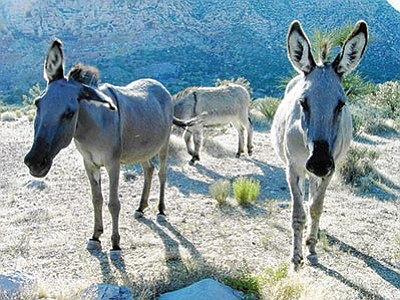 Courtesy<BR> A proposal to adopt out wild burros in an attempt to cull the overpopulated herds in Arizona was well received at a meeting in Washington, D.C., Tuesday.