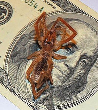 A sun spider in comparison to a $100 bill. (allexperts.com/Courtesy)<br /><br /><!-- 1upcrlf2 -->
