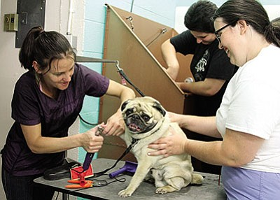 Paw Spa owner Marcie Turner clips Chucky the pug's nails as Brittney Gish of For Luv of Paws helps. (JC AMBERLYN/Miner)>