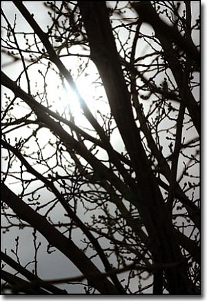 JC AMBERLYN/Miner<br> Kingman weather is getting cooler and a possible chance of snow is in the forecast. Here, the budding limbs of a tree and a cloudy sky partially obscure the sun Thursday afternoon.