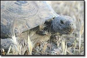 JC AMBERLYN/Miner Meet ³Conan², a captive desert tortoise.