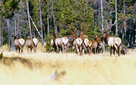 <i>National Park Service photo</i><br> A herd of elk grazes peacefully at Yellowstone National Park.