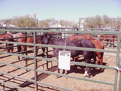 <i>Bureau of Land Management photo</i><br> Horses waiting to be adopted at a Camp Verde adoption event, June 19, 2008.