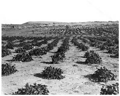 <i>Courtesy of the Field Museum of Natural History, Photographer unidentified</i><br> Valley between Kykotsmovi and old Oraivi. Large bean fields and orchard trees, circa 1901.