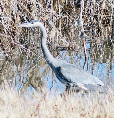 <i>Stan Bindell/NHO</i><br> Herons also frequent the area around Watson Lake in Prescott.