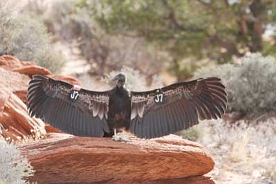 A condor enjoys sunshine. <i>Submitted photo</i>