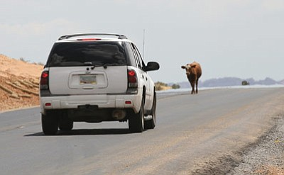 Creating a potential hazard for drivers, livestock can frequently be seen on U.S. 89T. Photo/ADOT