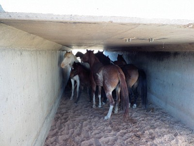 Horses wait in a cement culvert along Highway 160 for a Navajo Nation agriculture horse trailer after a roundup near Kayenta. Submitted photo