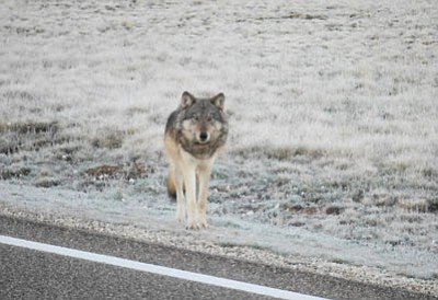 State and federal officials are trying to determine if this animal, which has been spotted several times north of the Grand Canyon this month, is an endangered gray wolf. The species has not been seen there since the 1940s. Photo/Center for Biological Diversity