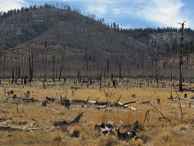 This area of the Coconino National Forest burned in 1996. An environmental impact statement that clears the way for a plan to thin nearly 600,000 acres in the Coconino and Kaibab National Forests, a move that officials say will help prevent catastrophic wildfires. Photo/Grant Martin