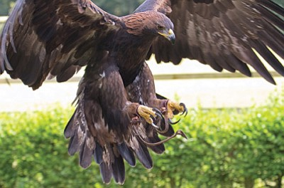 A captive golden eagle comes in for a landing. For hundreds of years, Native Americans have used eagle feathers for religious and cultural purposes. But the government closely regulates the ability to obtain such feathers. Photo/Magnus Manske/Tony Hisgett