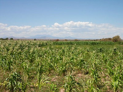 With the sacred San Francisco Peaks in the background, the North Leupp Family Farms, which is 100 acres in total, yields  rows and rows of emerald green leaved corn stalks.  Photo/Rosanda Suetopka