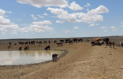 Cattle grazing on land that has become severely overgrazed in Hopi Range Unit 262. Photo/Hopi Tribe