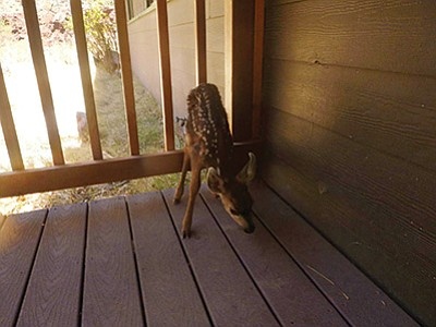 Visitors to Phantom Ranch brought this fawn to rangers, thinking it had been abandoned. Photo/NPS