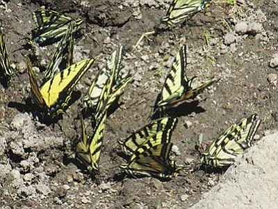 A group of two-tailed swallowtail butterflys sit in the mud at Shultz Tank. Stan Bindell/NHO