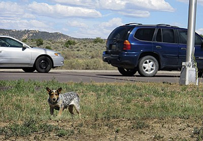 In this file photo taken July 14, 2011, a dog searches for food along a highway median on the Navajo Nation in Tohatchi, N.M. Shaken by a vicious dog mauling that killed a 3-year-old boy on the Navajo Nation, local leaders are expressing anger over the attack, saying encounters with stray and feral animals on the vast reservation are all too common and more could have been done to prevent the tragedy. AP Photo/Jeri Clausing, file